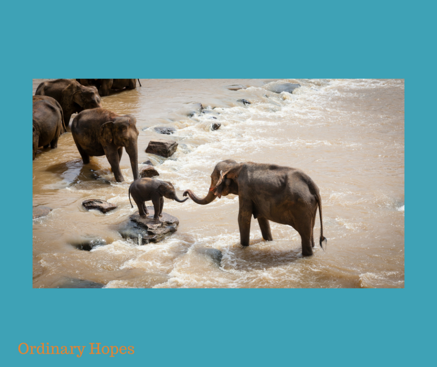 A baby elephant is on a big rock in a muddy river. A larger elephant is reaching their trunk out to it, and another is moving towards it. Other elephants appear to be in a line crossing the stream.